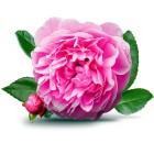 Роза галльская эфирное масло (1 мл)